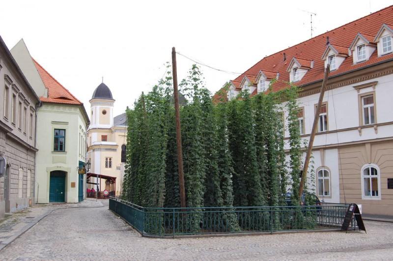 Самая маленькая посадка хмеля в мире в г. Жатец на площади Свободы (Nejmenší chmelnička na světě (na náměstí Svobody))
