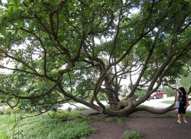 Турецкий орешник - памятное дерево