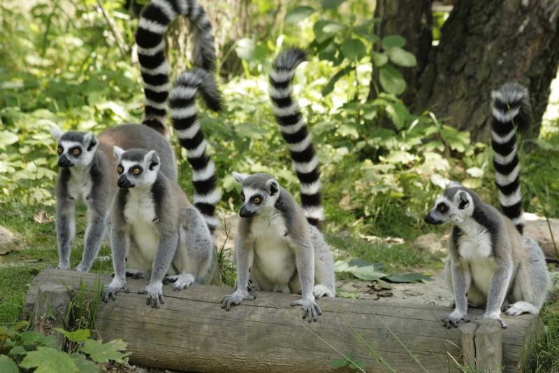 Лемуры в остравском зоопарке