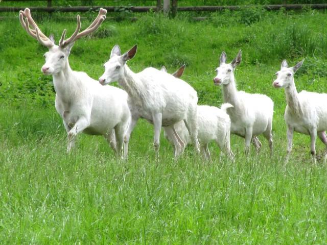 Чешское чудо – белый олень