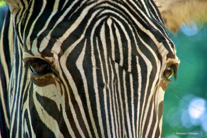 Любопытная зебра