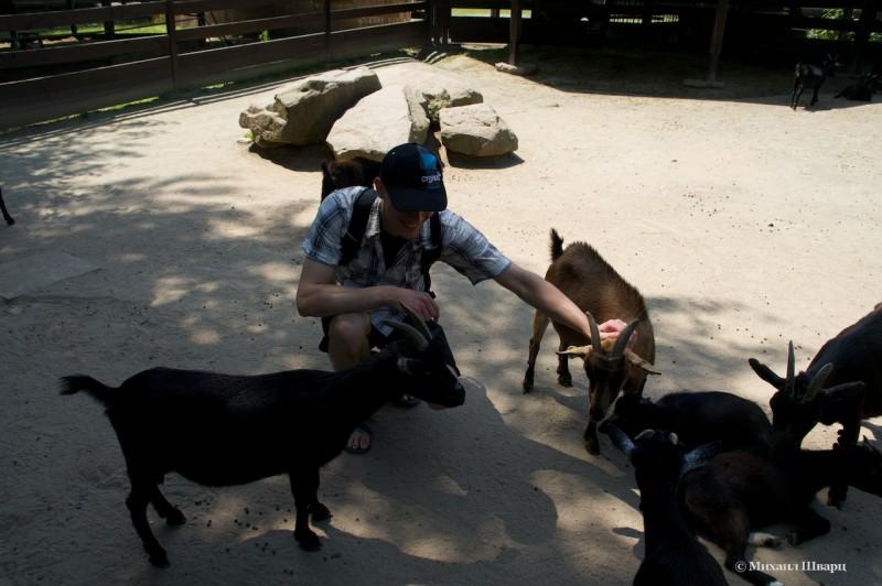В вольере с козлятками