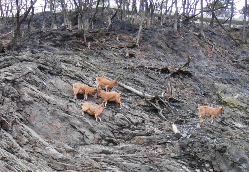 Горные козы в Пражском зоопарке